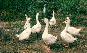 Ogniska grypy ptaków - rozporządzenia PLW w Łasku
